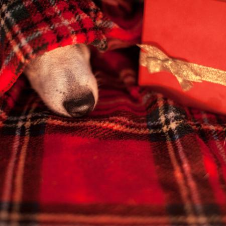 Sleeping dog under plaid. Pet with gift
