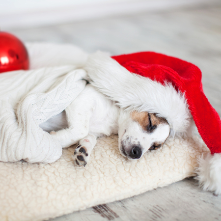 Sleeping dog in christmas hat