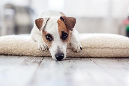 Sad dog at home