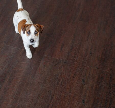 Little White Dog Run Puppy On Brown Floor