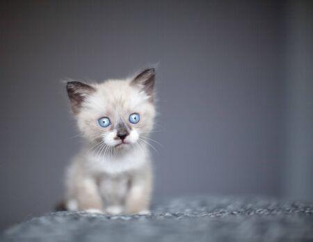 Kitten on a white knitted blanket. Little cut cat at home Reklamní fotografie