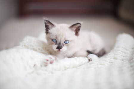 Kitten on a white knitted blanket. Little cut cat at home Stok Fotoğraf