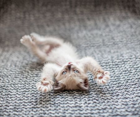 Kitten playing on a gray knitted blanket. Little cut cat at home Stok Fotoğraf