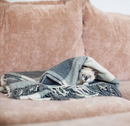 Kitten in a blanket on sofa. Little cut cat at home Stok Fotoğraf