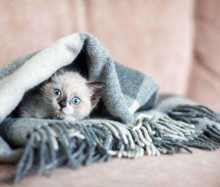 Kitten in the blanket on sofa. Little cut cat at home Stok Fotoğraf
