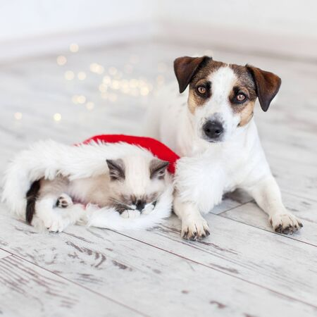 Cat in christmas hat and dog. Kitten and puppy in christmas lights on warm floor