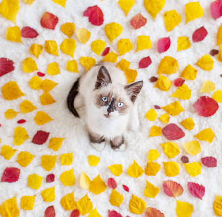 Kitten in autumn leaves. Cat with yellow and red leaves on white blanket Zdjęcie Seryjne