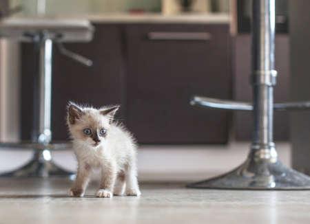Kitten in the kitchen. Little cat at home Zdjęcie Seryjne