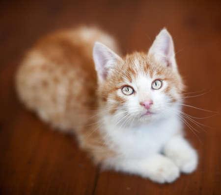 Red kitten on a wooden floor. Little cut cat at home