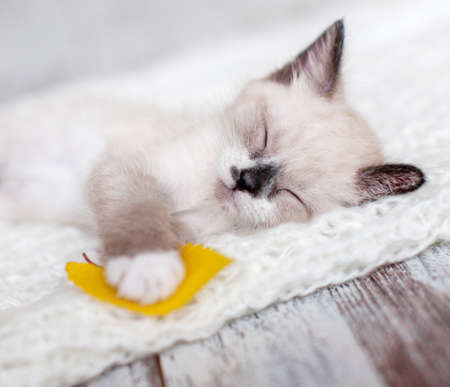 Kitten sleep on knitted plaid. Little cut cat at home Zdjęcie Seryjne