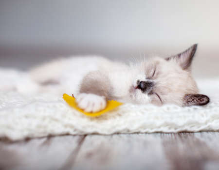 Kitten sleep on knitted plaid. Little cut cat at home. Autumn, fall