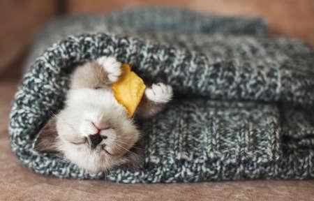 Autumn, Fall. Kitten sleep on knitted plaid. Little cut cat at home Zdjęcie Seryjne