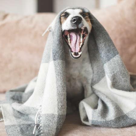 Dog yawns under plaid at home. Pet on sofa Zdjęcie Seryjne