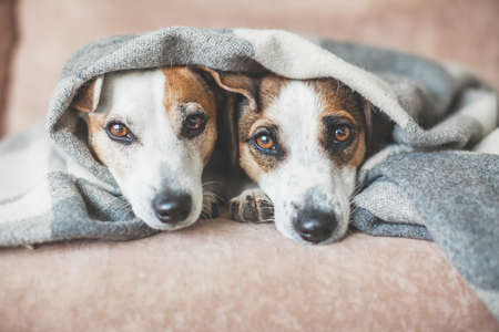 Two Dogs under plaid at home. Pet on sofa