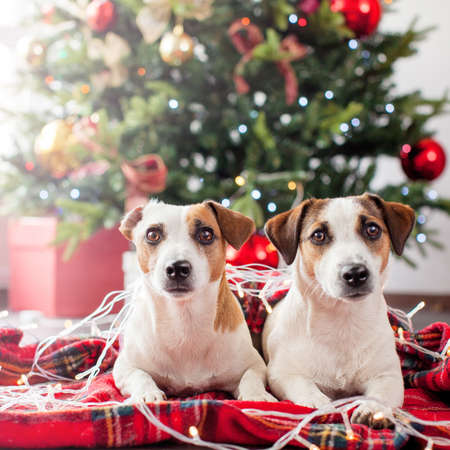 Two dogs near christmas tree. Dog at home