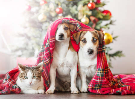 Dog and cat near christmas tree. Pets under red blanket at home. Friends