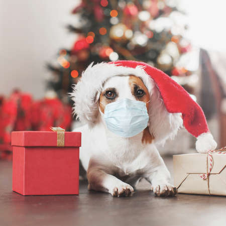 Dog in mask near christmas tree. Coronavirus covid 19 Pet at home, happy New Year and merry Christmas