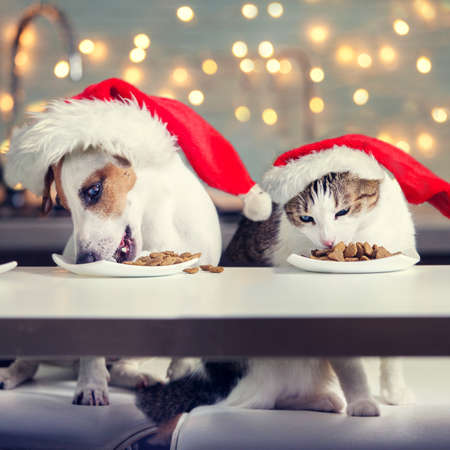 Dog and cat in christmas hat eating food. Happy pet santa Stock Photo