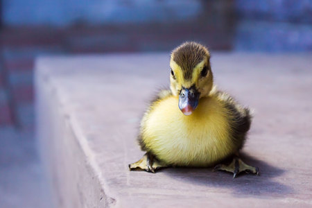 Cute little yellow duckling, sitting, watching you Stock Photo