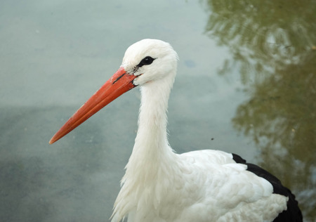 red beak: White stork with a red beak in water
