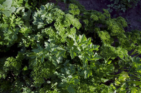 Green background of different species of parsley Stock Photo