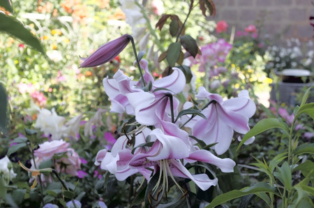 White lilies with purple stripes