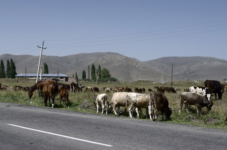 Herd of cows and horses are grazed near the road to the village Stock Photo
