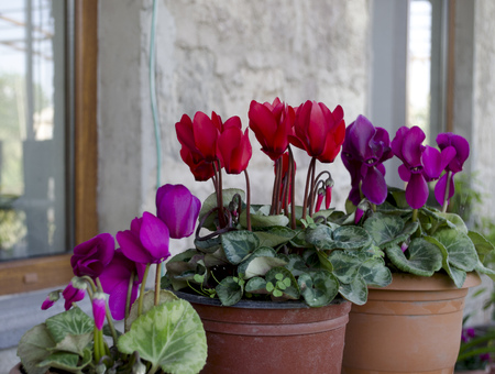 Purple and red cyclamen in pots on the windowsill photo