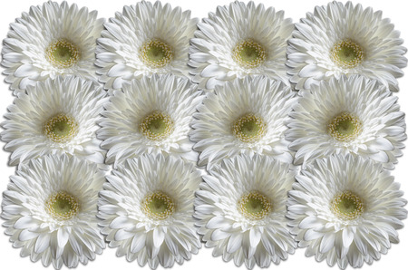 consistently: White heads gerber daisies consistently lying to each other on a white background Stock Photo