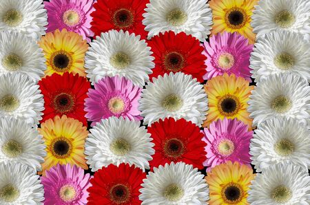 each other: Multicolored gerber daisies consistently lying to each other