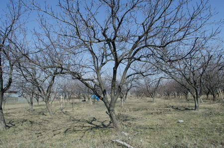 obudził: Awakened from the sunlight apricot trees in early spring Zdjęcie Seryjne