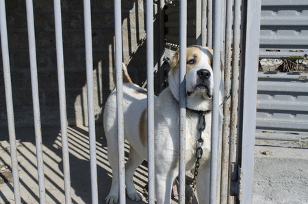 central asia shepherd dog: Young white with red ears puppy dog Alabai chained behind the bars