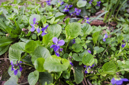 among: The bush flowering violets on the ground among withered leaves
