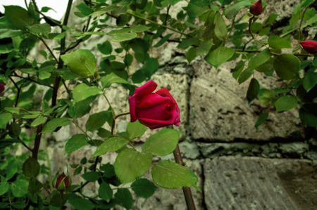 red stone: High bush of red roses rests branches abouta stone wall Stock Photo