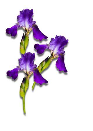 purple irises: Bouquet of purple irises on a white background