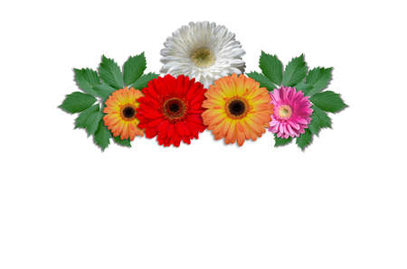 multicolored: Multicolored flowers daisies with green ivy leaves on a white background