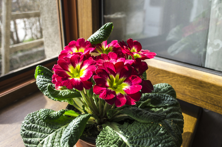 violet residential: Blooming red violets on the windowsill in the sunny day Stock Photo