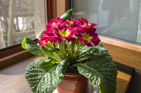 violet residential: Blooming red violet at the open window on the windowsill in the sunny day Stock Photo