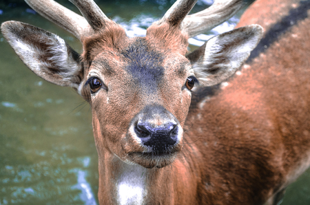 redheaded: Young spotted  redheaded deer in water in  the city park Stock Photo