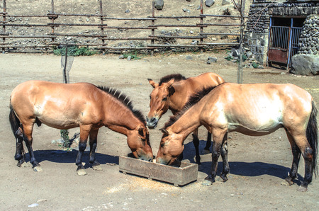 The open corral with golden brown horse,who chew dry food  from a wooden trough Stock Photo