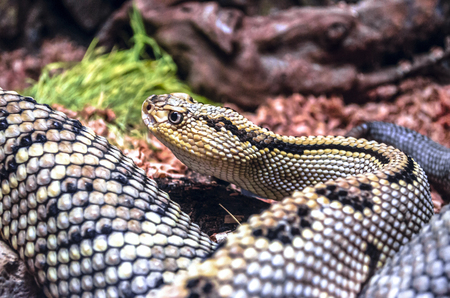 Rattlesnake snake with black and yellow spots kept a sharp monitors all