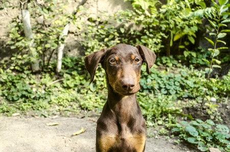 paw smart: Portrait smart puppy Doberman a seated under the trees in the garden