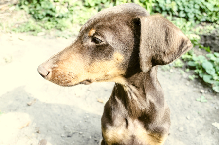 paw smart: Profile of young female woodcocks Doberman resting under the sun in the garden