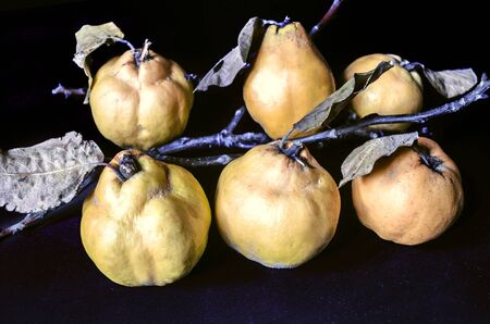 Ripe fruit of quince and withered leaves with the dry branches on black background Stock Photo