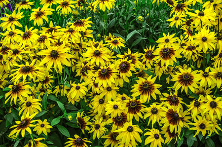 mottling: Bright sunny yellow with a burgundy center large flowers Rudbecia in the park Stock Photo