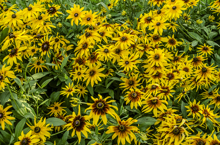 mottling: Yellow with burgundy mid bright flowers Rudbecia  bloomed in a Park