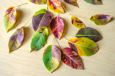 Beautifully fading motley multi colored  of autumn leaves of a pear tree on an background of unpainted plywood Stock Photo