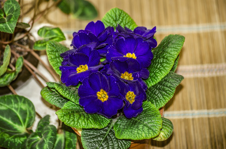 Decorative blue purple violets with yellow in the center,was bloomed in a plastic pot on a straw mat
