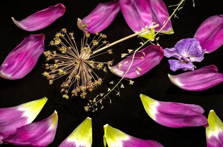Black background with a dry sprig of decorative Allium,fading orchid,a dry branch of a shepherd's bag and studded with shiny large purple petals with tulips Banque d'images