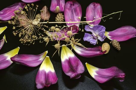 Black background with coniferous cones,thorns, decorative Allium,dry branch of a shepherd's bag,almonds and sparkling purple Tulip petals
